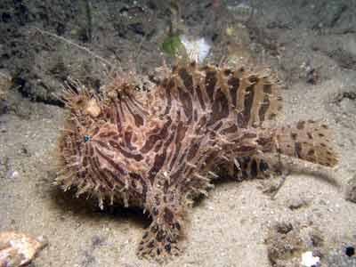 Striped anglerfish