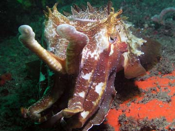 Cuttlefish on Isolated Reef