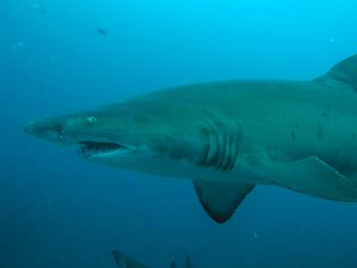 Grey Nurse Shark - Fish Rock