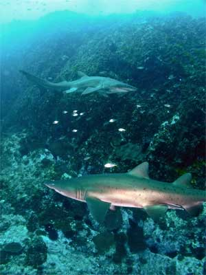 Grey nurse sharks at The Boulders