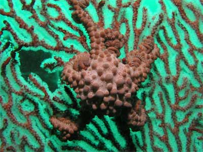 Basket Star and Gorgonia