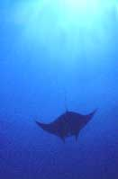 One of seven manta rays seen at this site