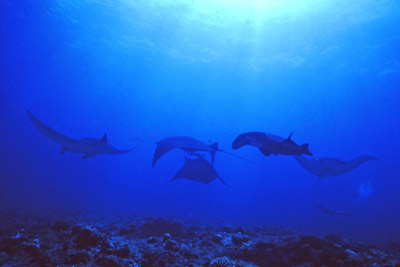 Six of seven manta rays seen at this site