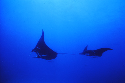 Two of seven manta rays seen at this site