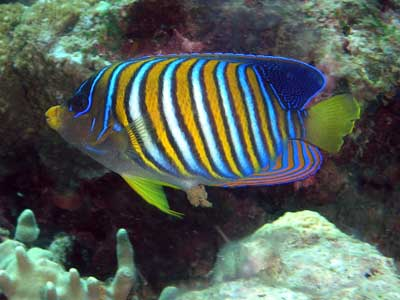 Regal angelfish at Pygmy Point