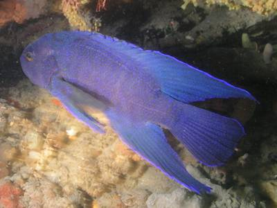 A blue devilfish