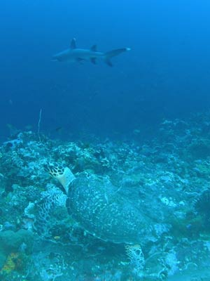 Turtle and shark