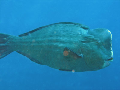 Humpheaded wrasse